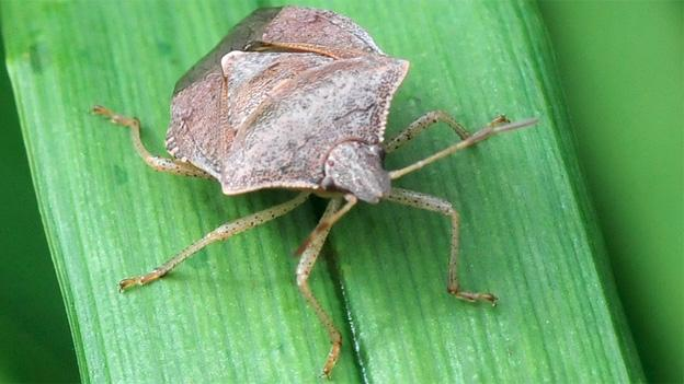 Stink bug populations have surged with a vengeance.