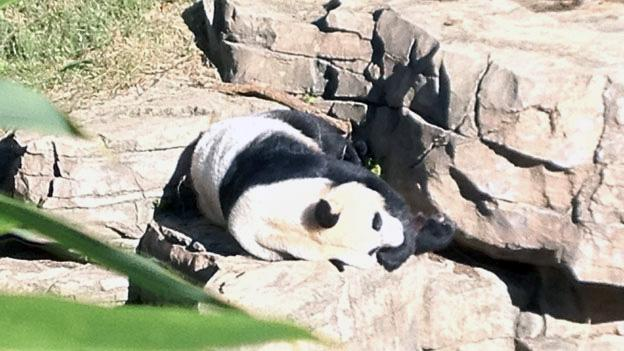 One of the National Zoo's giant pandas sits in the sun October 11. Zoo officials have released the cause of death of a 6-day-old giant panda cub that died last month.