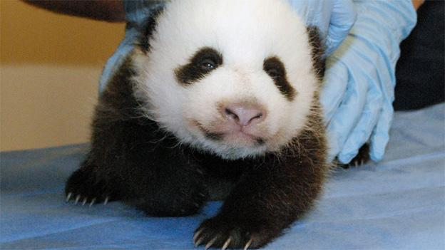 The 8-week-old panda cub will get a name when she reaches her 100th day, per Chinese custom.