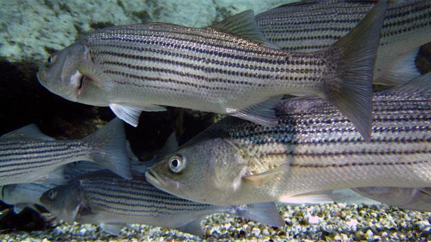Young striped bass have grown scarce, but their population is expected to recover.