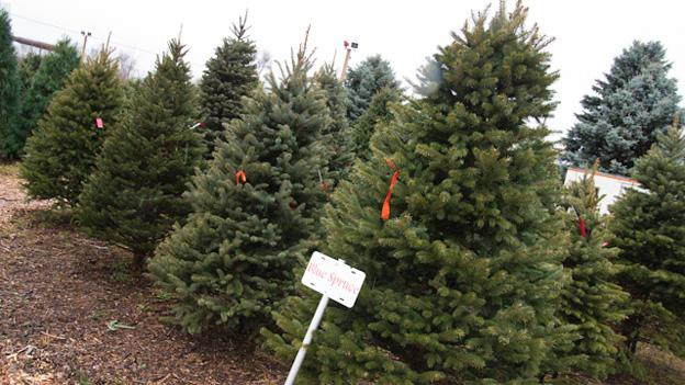 There shouldn't be much of a hit to the supply of normal-sized trees, but over-sized ones are a rarer commodity and may be rarer still this year.