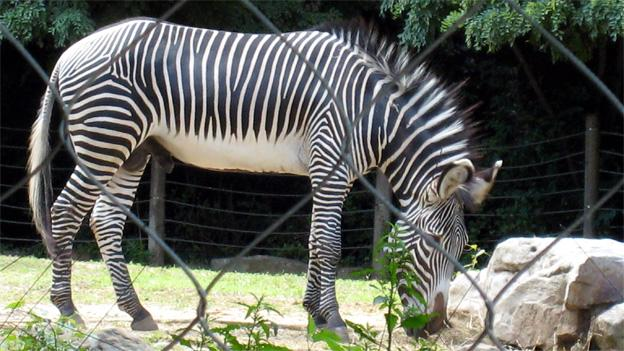 One of the National Zoo's male zebras. It's unknown if this is the zebra involved in the attack.