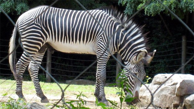 One of the National Zoo's three male zebras, looking conspicuously innocent.