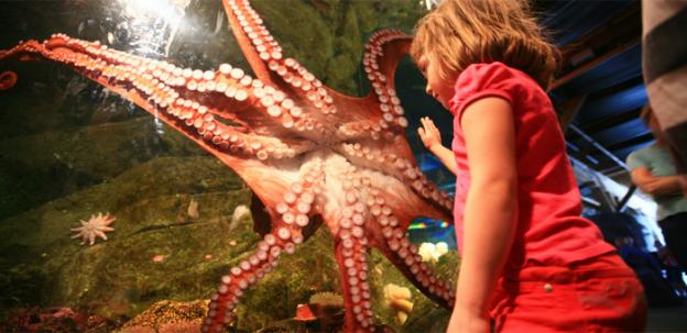 Unlike this giant octopus from the Seattle Aquarium, the as-yet-unnamed cephalopod at National Zoo is only the size of a grapefruit.