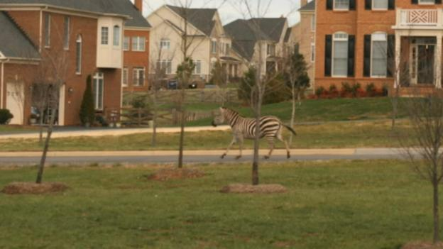 Zebras escaped from the Leesburg Animal Petting Zoo near Route 15.