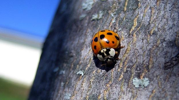 It's peak season for Asian Lady Beetles.