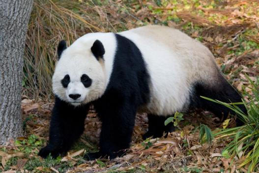 The zoo's female panda, Mei Xiang, in 2010. The National Zoo will announce a $4.4 million donation to keep the zoo's panda program going today.