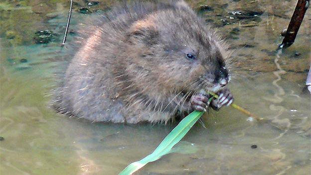 No real muskrats will be harmed in the New Year's ceremony, we are told.