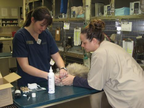 Veterinary technicians Shannon Huza (left) and Utta Von Nuremburg (right) do blood work on a cat at Friendship Hospital for Animals.