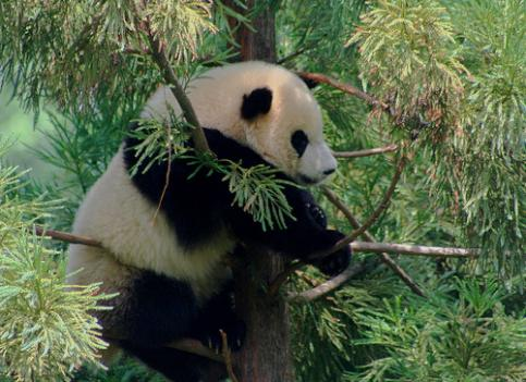 Tai Shan's last day at the National Zoo is February 4th.