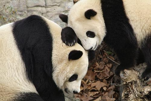From 2006: Tai Shan leans on his mother, Mei Xiang, while gaining his balance. Based on a detected increase in hormone levels, Mei Xiang could either give birth within six weeks to two months or come to the end of a false pregnancy.