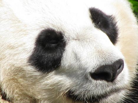 Doctors at the National Zoo say resident panda Mei Xiang will not give birth anytime soon.