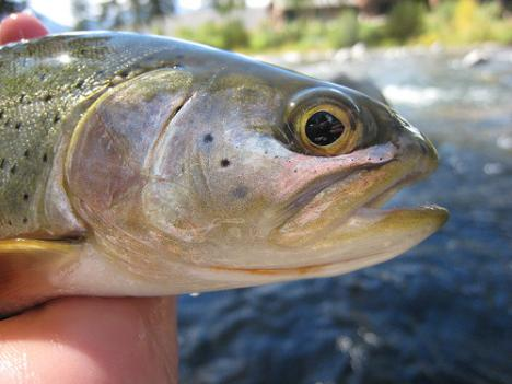 Maryland is preparing to release 20,000 trout into lakes and rivers in October.