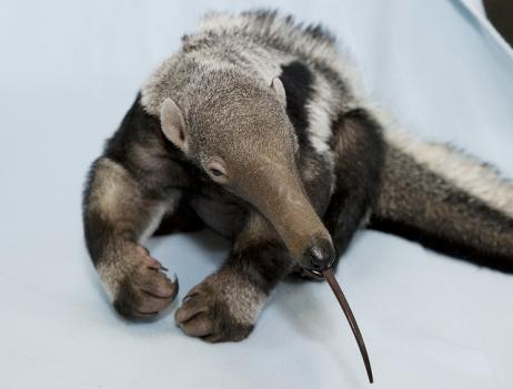 The anteater pup is just over 1 month old.