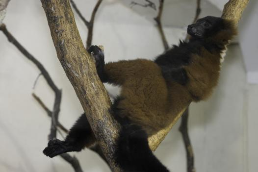 A red ruffed lemur relaxes after a long day of being a lemur. If they are anything like the dozens of other mammals that have been studied, lemurs dream too.