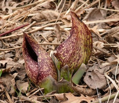 Skunk cabbage flowers generate their own heat using an oxygen burning process very similar to that used by animals.  The heat in these flowers can reach 70 degrees in the dead of winter, melting the snow around it and attracting beetles and other pollinators.