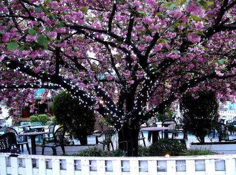 Cherry blossoms cover a restaurant on Capitol Hill in 2008. The annual festival brings a boost to local businesses.