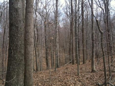 A mixed hardwood forest has oak, hickory, tulip poplar, and beech as well as a few remaining pioneer Virginia pines.
