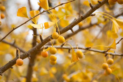 The infamously smelly ginkgo fruits.