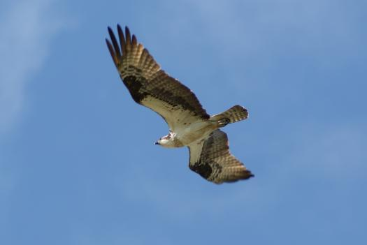 The Migratory Bird Treaty Act protects Ospreys and more than 1000 other migratory birds. The act is based on a treaty with Japan, Russia, Mexico, and Canada.