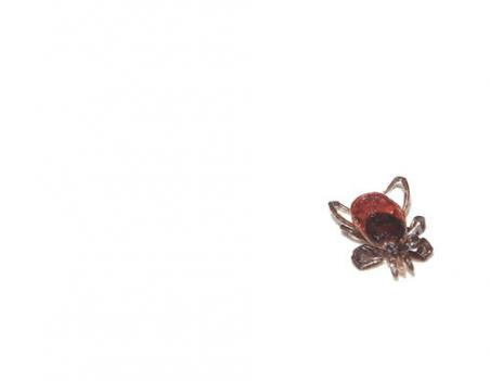 The tiny deer tick is often no larger than the tip of a pencil.