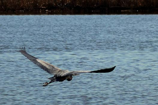 A great blue heron flies over Dyke Marsh in Mount Vernon. Dyke Marsh is a stomping ground for dozens of bird species, but the the marsh has eroded rapidly during the past few years.