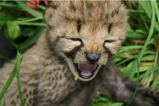 One of the National Zoo's female cheetahs gave birth to five cheetah cubs, including this one, May 28.