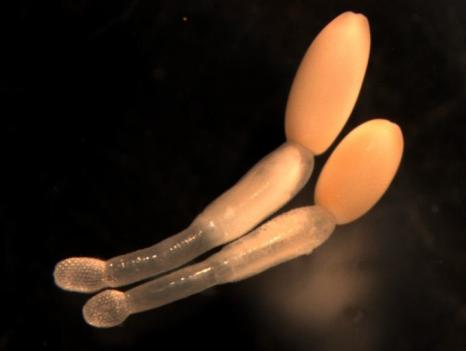 The Profilicollis altmani, or thorny-headed worm, is a prime example of a mind-altering parasite. It changes the behavior of mole crabs, which then get eaten by sea gulls, the worm's final host.