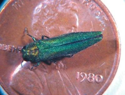 An example of an adult emerald ash borer that's been placed on a penny to show size. The invasive insect from Asia has the potential to decimate huge populations of native trees.