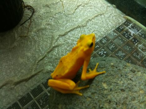 The Panamanian Golden Frog is most likely extinct in the wild, but it survives in captivity.