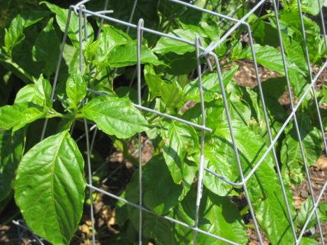 The chocolate naga is one of the hot peppers Chef Tom Elder grows in his organic garden. It's in a cage to keep away the deer, who love munching on the leaves and stems.