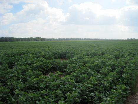 Field of soybeans at the Lazy Day Farms and Layton Chance Winery in Dorchester County. Cover crops, which help remove excess nitrogen from the soil, are planted in the corn fields, which are off in the distance to the right.