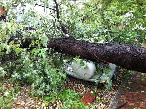 An an oak tree toppled over an SUV in Old Town Alexandria.