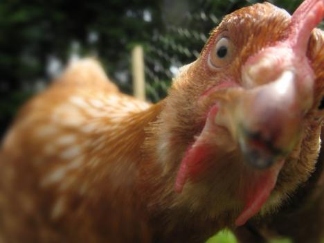 A new proposal could make it easier for D.C residents to keep chickens.