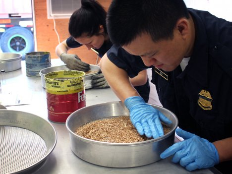 David Ng (right) and Amanda Furrow, Customs and Border Protection officers, inspect wheat for insects and alien seeds at a port in Baltimore, Md.