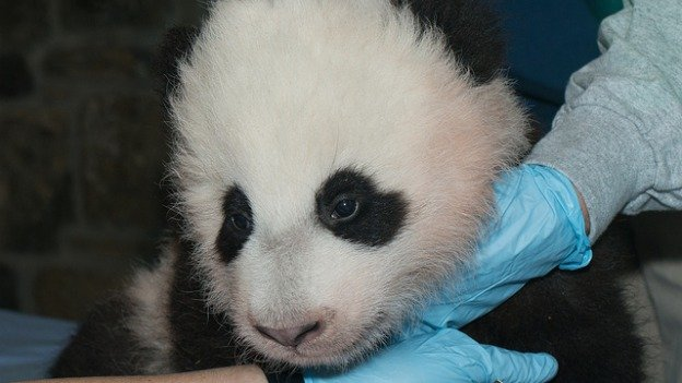 Bao Bao was born in late August to Mei Xiang.