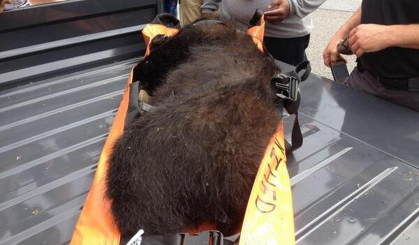 The 150-pound bear was tranquilized and will be moved to a forest area near the Potomac River.