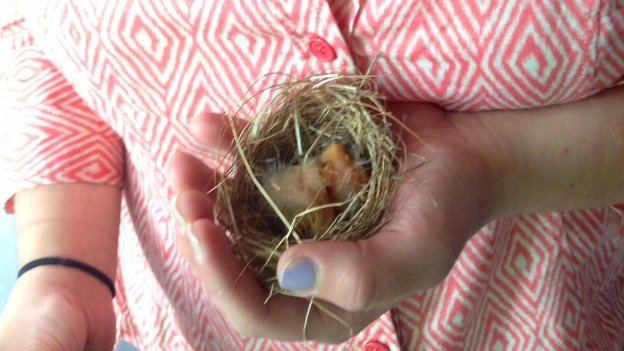 These two robins were just a few days old when their nest went for a spin on a porch fan in Northwest, D.C. Washington Humane Society Animal Control Officer Cindy Velasquez transported the babies to City Wildlife.