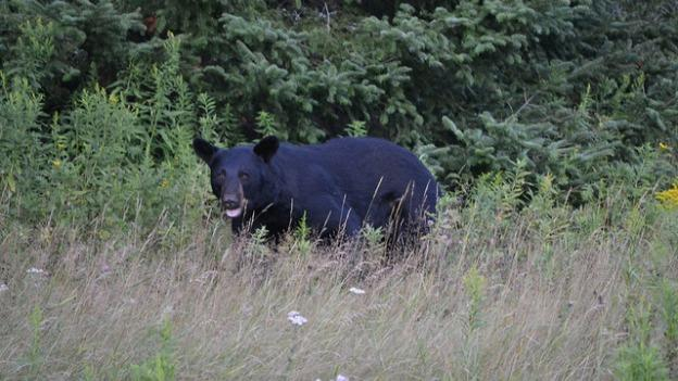 Black bears sightings are not uncommon at this time of year. This is a file photo of a black bear spotted in Wisconsin.