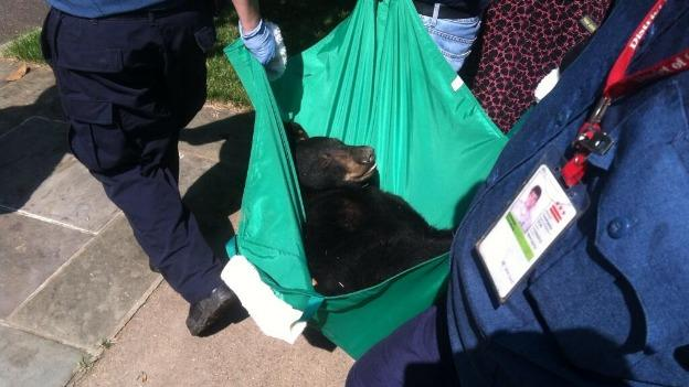 The 100-pound black bear was sedated using a tranquilizer dart.