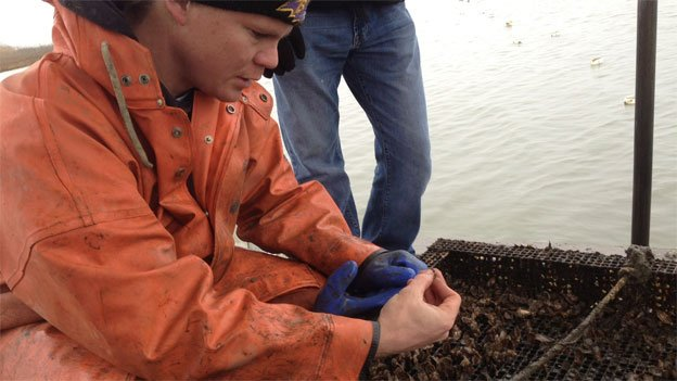 The effort to bring oysters back for the coastal economy is a labor of love for John Apple.