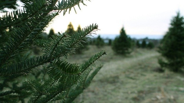 Environmentalists say that real Christmas trees are the greenest way to go during the holidays.