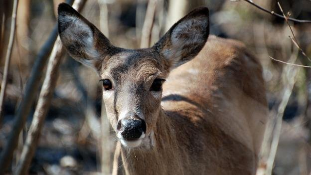 The National Park Service says that Rock Creek Park is overrun with white-tailed deer.