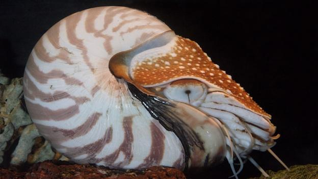 The Nautilus (pictured above) is considered a living fossil, meaning it hasn't changed much since it first appeared 500 million years ago.