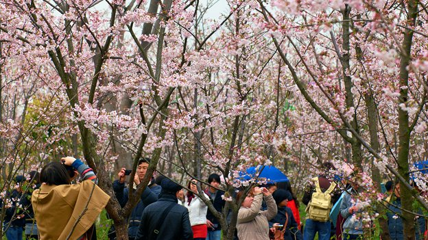 The tourists come for the cherry blossoms and weekend Metro riders can reap the benefits.