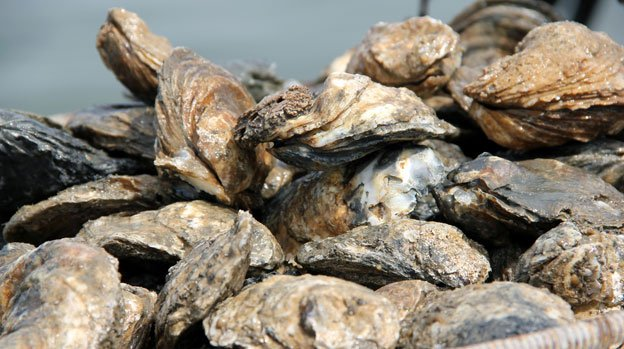 Plentiful, healthy oysters will help keep the Chesapeake Bay clean.