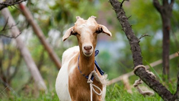 Goats: Mother Nature's answer to weed-whacking and pesticides.