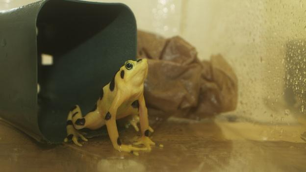 A golden frog before a bath.