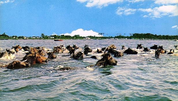 The horses will swim from Assateague Island to Chincoteague.