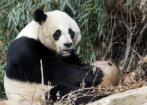 A file photo of female giant panda Mei Xiang from 2011. Mei's distress vocalizations Sunday, September 23 were the first indication that her cub had died, zoo officials say.